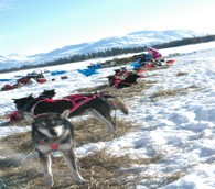 The Iditarod: Worth the Work It Takes to Follow It