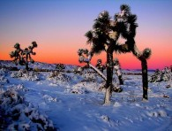 Save the Joshua Tree (Again)