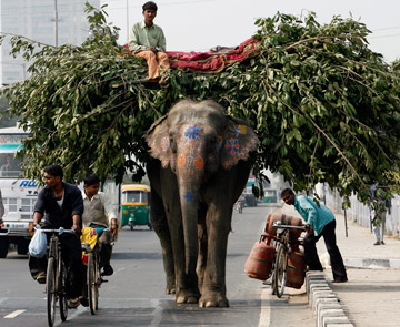 Elephant on Delhi road, India