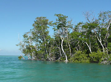 mangroves in key west