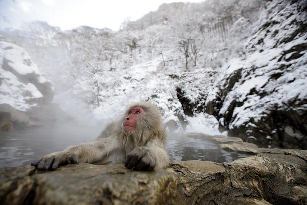 snow monkey macaque hot spring Japan